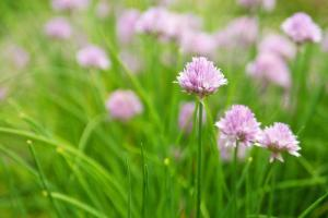 Chives in the Herb Garden