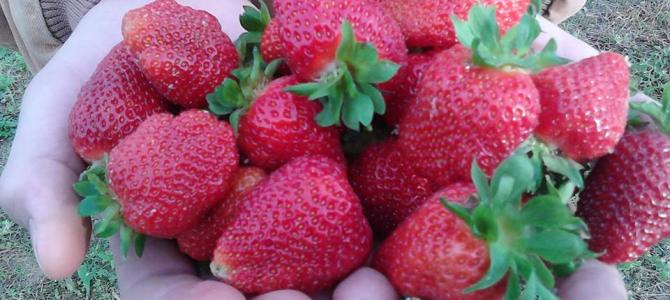Fresh Strawberries during the Month of May…only 3 months away!  CSA signups available now!
