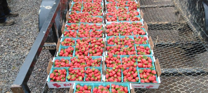 Strawberries!  And the Kitchen is OPEN with Shortcake and more!