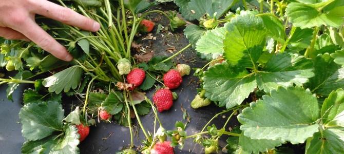 Strawberry weather!