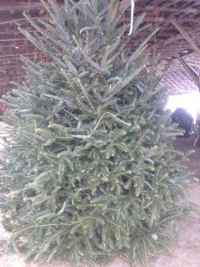 Millers Christmas Tree Farm.Fraser Firs 5ft 9ft Miller Farms Market