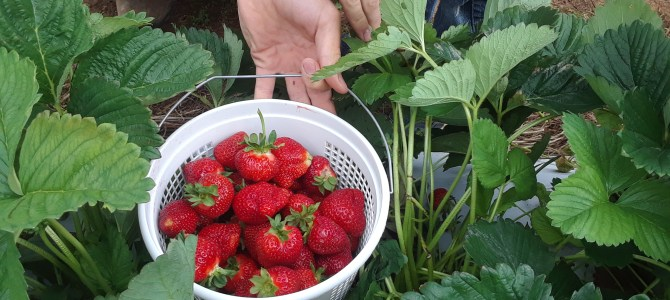 The Strawberry Patch is loaded with Strawberries!