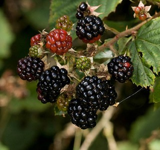 Pick your own BLACKBERRIES opens tomorrow, Tuesday June 11