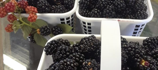 Blackberry Picking and Blueberry Picking!