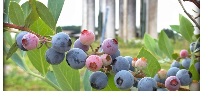 Have y'all picked Blueberries and Blackberries yet?