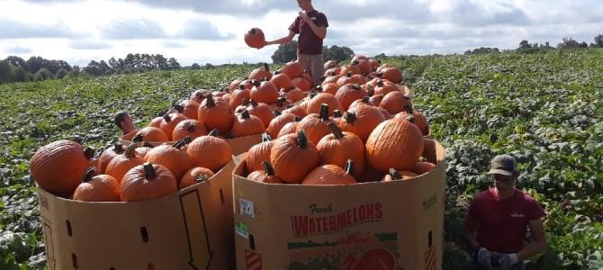 Picking Pumpkins at Miller Farms!  Still plenty of Sweet Corn