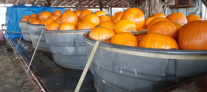 Hauling Pumpkins in the Rain.  Closing at 5pm today because of the rain.  No Hayrides today.