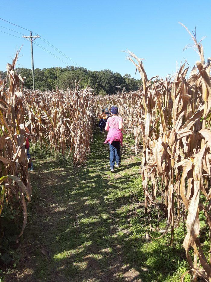 Corn Maze Miller Farms (2)