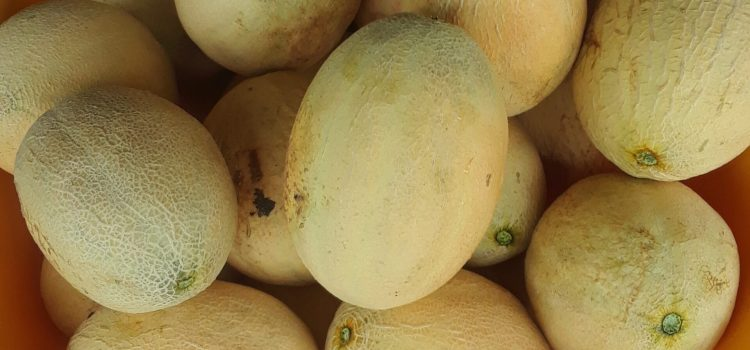 CANTALOUPES! HEY FOLKS, COME HELP US OUT! THE CANTALOUPE PATCH HAS YIELDED WELL AND WE ARE OVERRUN WITH CANTALOUPE!