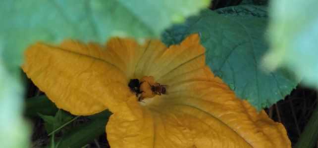 Pumpkin plants are in Full Bloom!