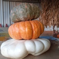 Pumpkins, Pumpkins, and more Pumpkins! Plenty of pre-picked pumpkins, mini pumpkins, and gourds. Cornstalks and Straw bales too! We have what you need to decorate with!