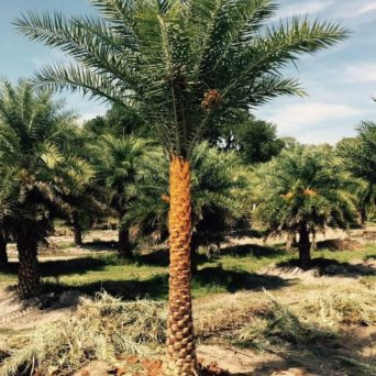 Palm tree waiting to be trimmed