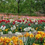 Parc Floral - Tulipes