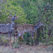 Kenya, Tsavo Est, Lesser kudu