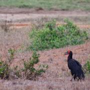 Kenya, Tsavo Est, Calao terrestre