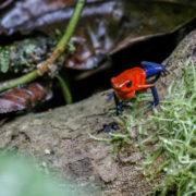 Dendrobate fraise (Oophaga pumilio) Blue Jean dart frog