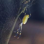 néphile dorée (Nephila clavipes) Golden Orb spider