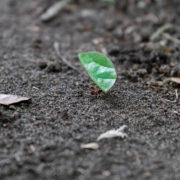 Fourmis coupeuses de feuilles, la plus emblématique fourmi du Costa Rica