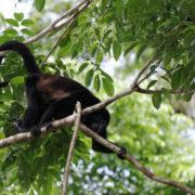 singes hurleurs