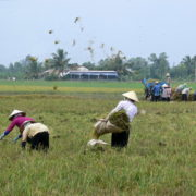 culture du riz