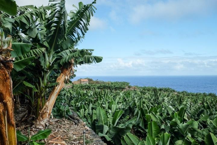 Bananeraies et Océan