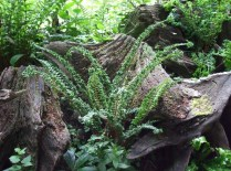 stumpery-6-burnby-july