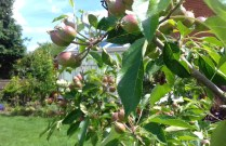 Apples developing back garden