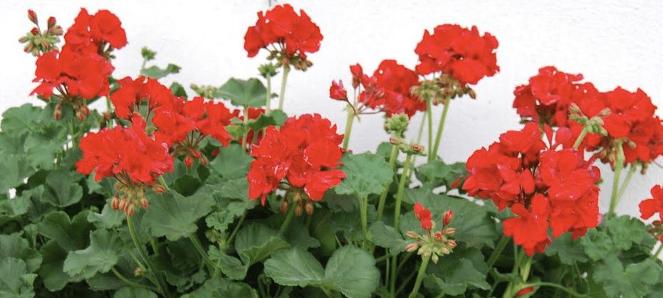 Röda pelargoner