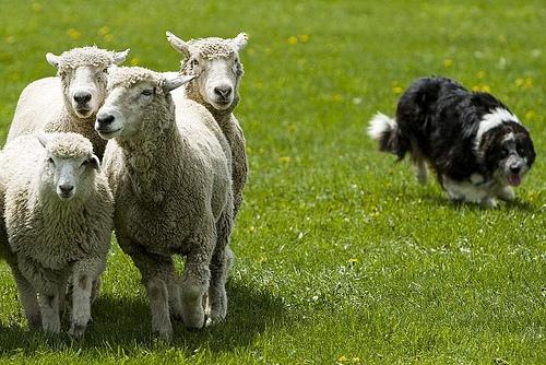 sheep-dog-herding
