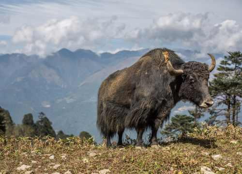 Yak in Gangtey, Bhutan