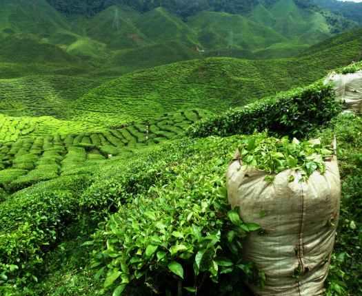 Tea Fields, Sri Lanka