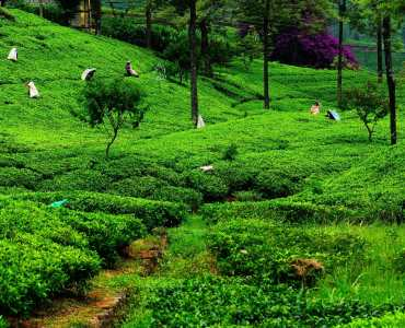 Tea Fields of Sri Lanka | Hill Country | Luxury Holidays to Sri Lanka
