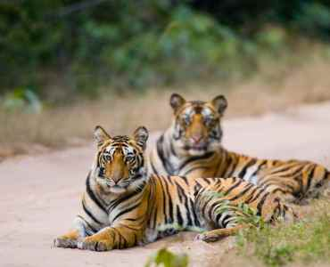 Two Bengal tiger lying on the road in the jungle. India. Bandhavgarh National Park. Madhya Pradesh.