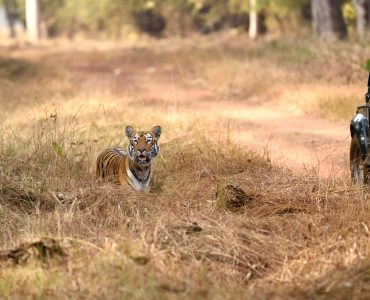 Tadoba National Park Wildlife Safaris, India