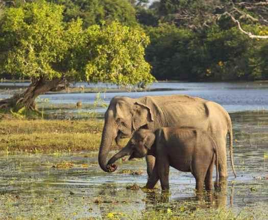 Elephants in Yala National Park, Sri Lanka