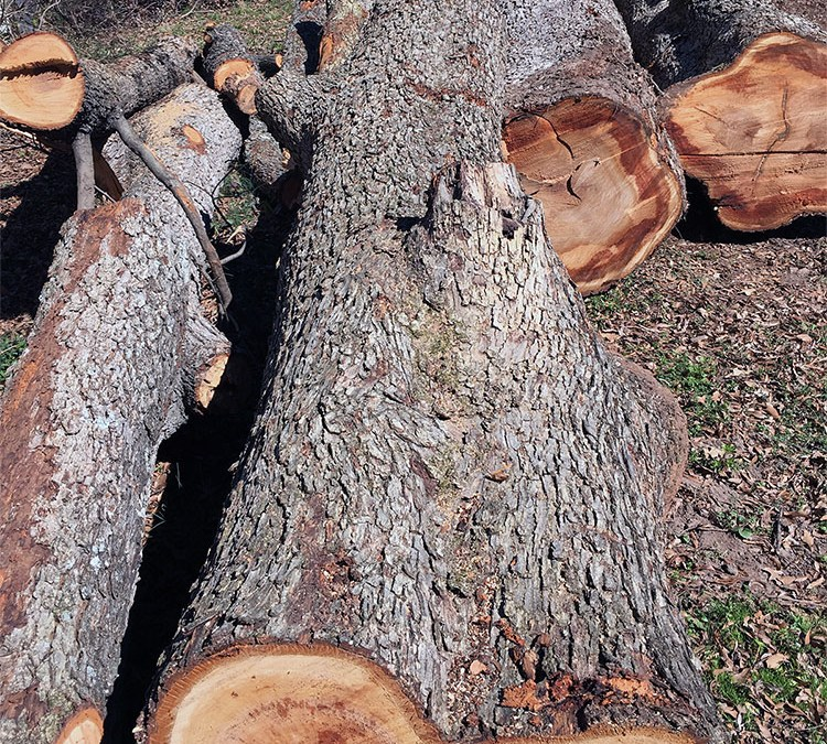 When is the Best Time to Remove Trees for Lumber?
