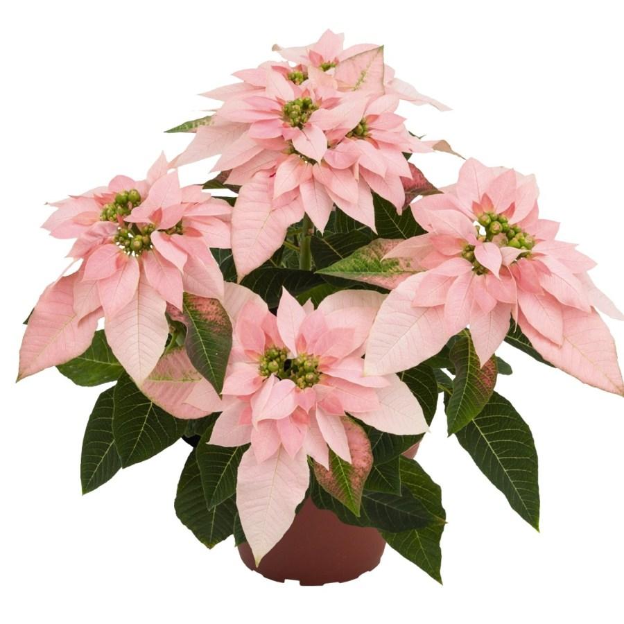 Luv U Soft Pink Image