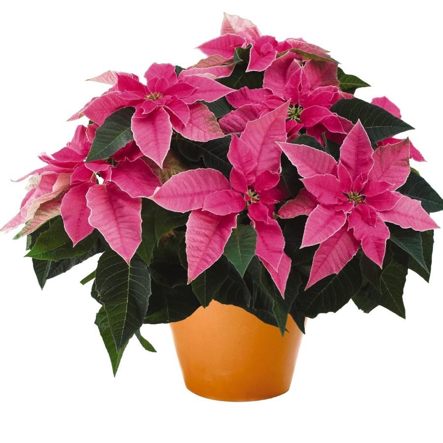 Princettia Hot Pink Image