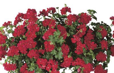 Temprano™ Bright Red (Maxime) Image