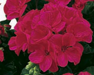 Americana® Cherry Rose Image
