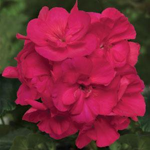 Sunrise XL Purple Rose Image