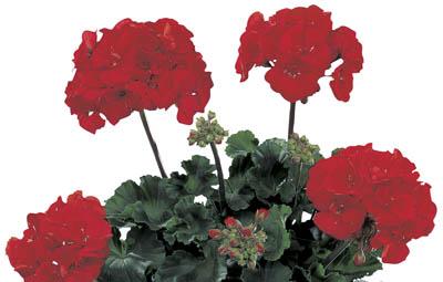 Tango™ Dark Red Image