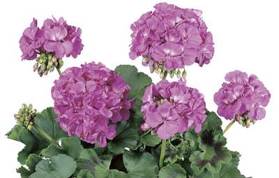 Rocky Mountain™ Lavender Image