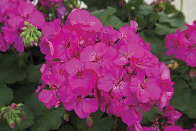 Calliope™ Lavender Rose Image
