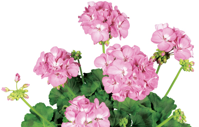 Rocky Mountain™ Pink Image