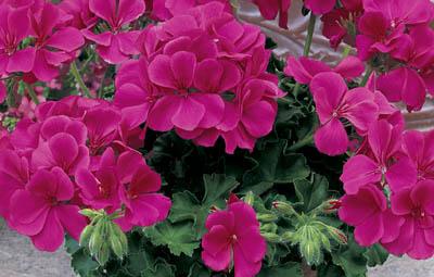 Caliente® Rose Image