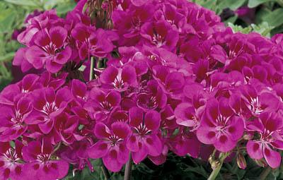 Tango™ Rose Splash Image