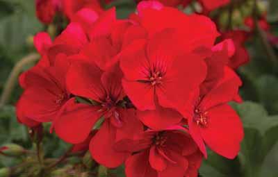 Tango™ Velvet Red Image