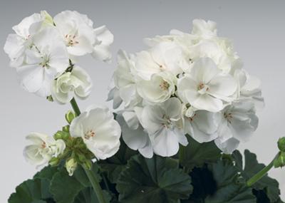 Tango™ White Image