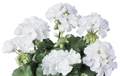 Classic™ White (Alba) Image